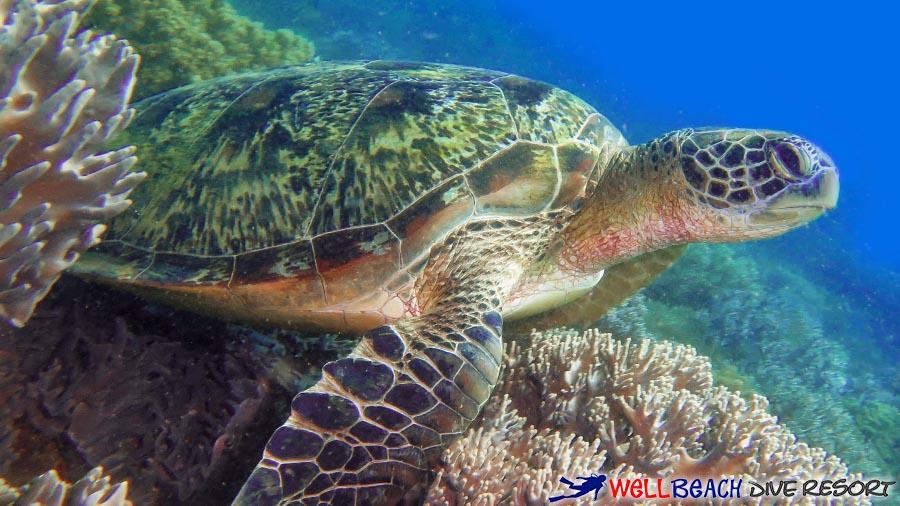 Apo Island - Turtle Over Corals