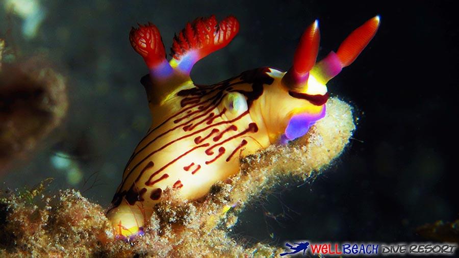 Scuba Diving - Apo Island - Nudi