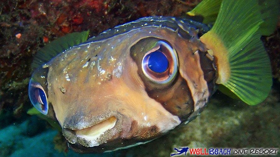 Scuba Diving Dauin - Porcupinefish